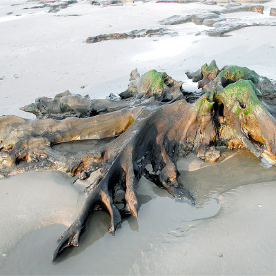Ancient Tree Remains Cardigan Bay
