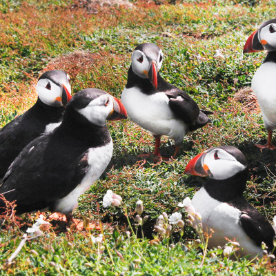 Puffins Socialising on Skomer Island