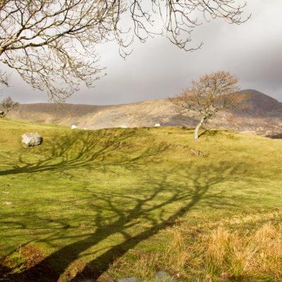 Ash Tree Shadows on Dyfwys Mountain