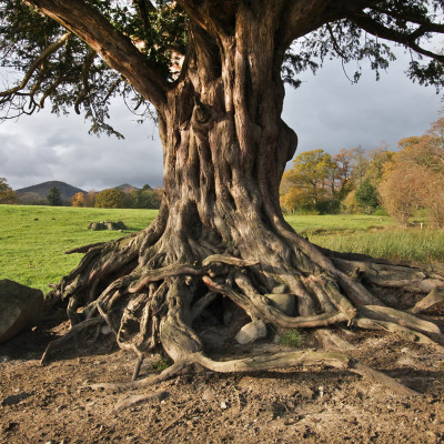 Ancient Yew - Conwy