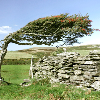 Windblown Hawthorn in Dyfi Valley