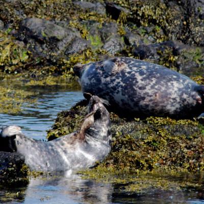 Bardsey island Grey Seals