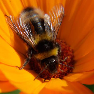 Bumble Bee on Marigold