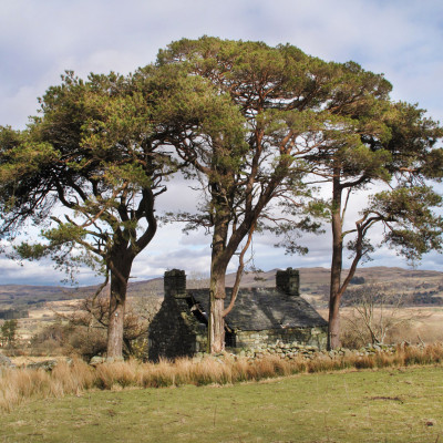 Three Scots Pines marking Drovers Stopping Place