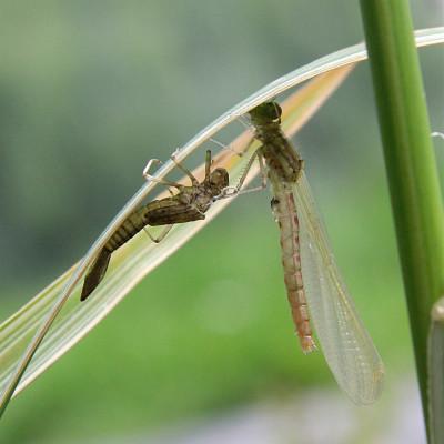 Damsel Fly Hatching