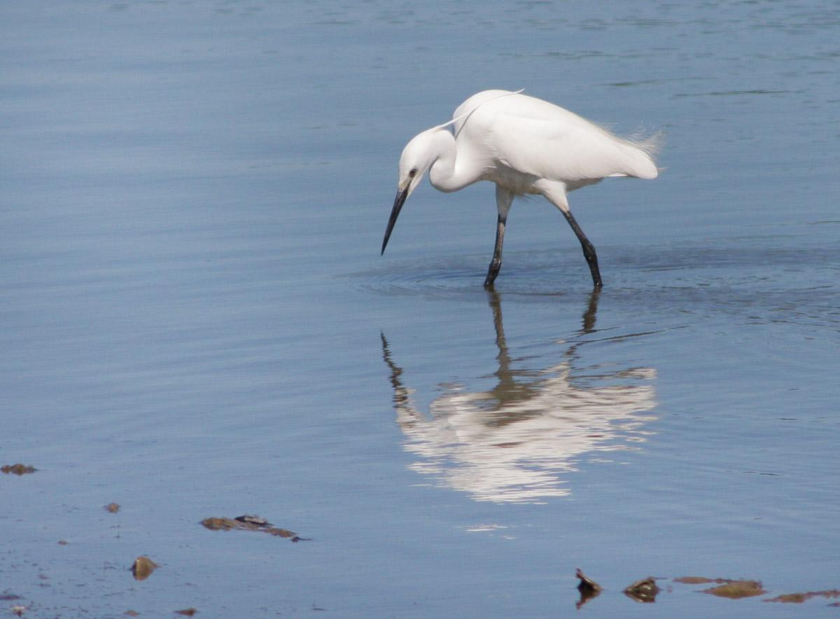 Egret on Afon Conwy