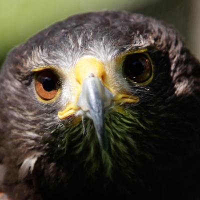 Falcon_web
