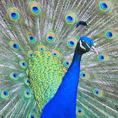 Peacock at Gwydir Castle