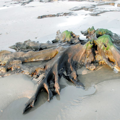 Ancient  Forest Remains Cardigan Bay
