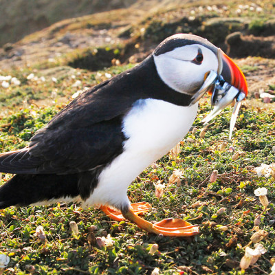 Puffin with Eels