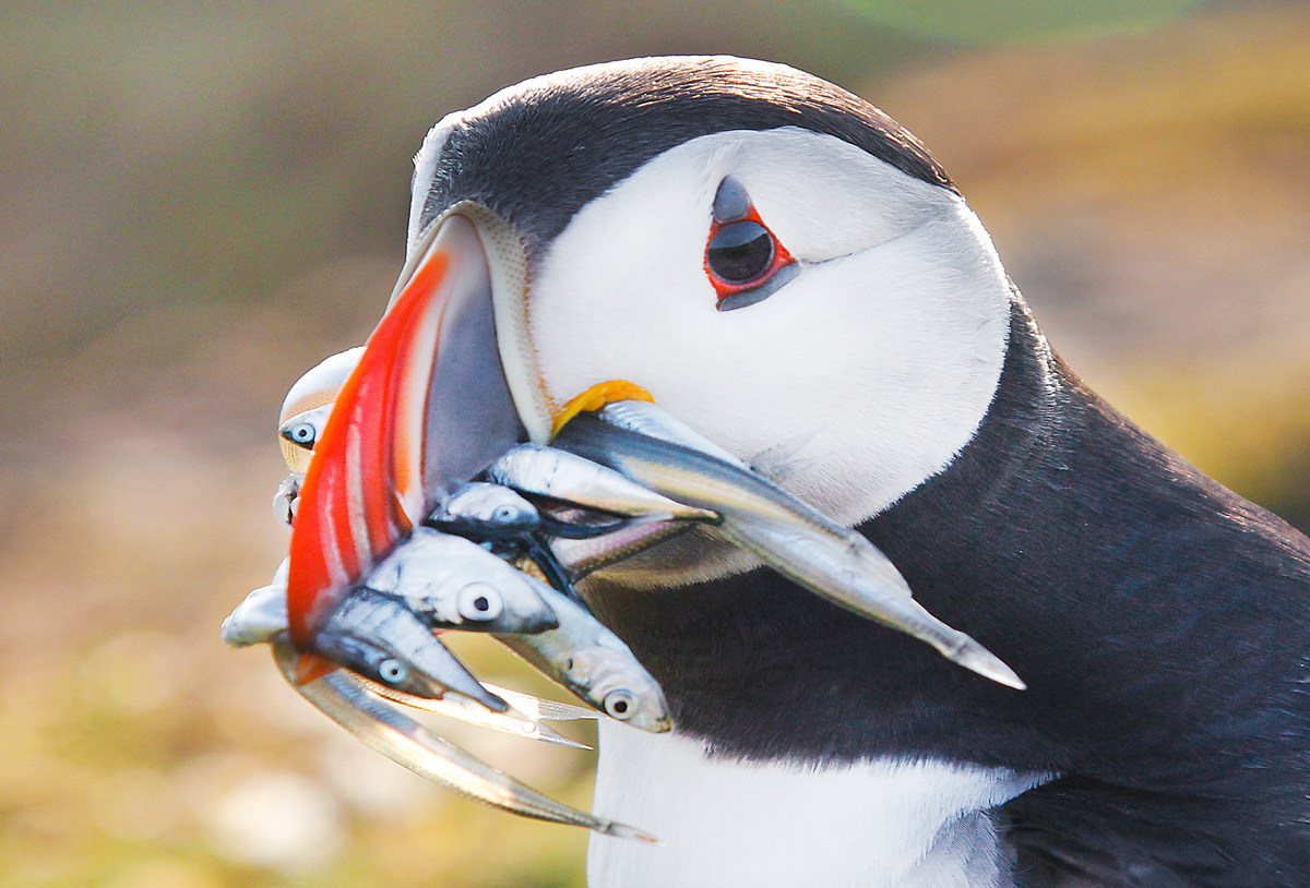 Puffin on Skomer Island