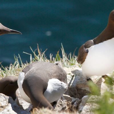 Guillimot with Fish