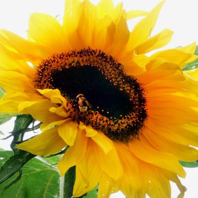 SunflowerBee_web