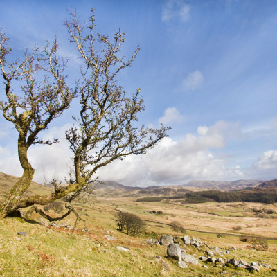 Winter Hawthorn above Barmouth