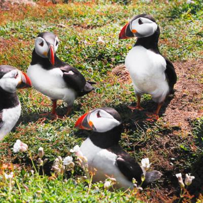 Puffin Group on Skomer Island