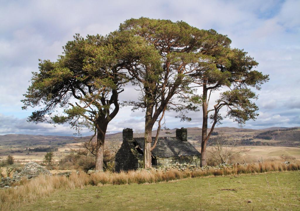 Three Scots Pines at Blaen-y-Cae ruined Farm