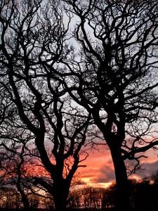 Winter Trees at Ynys Maengwyn